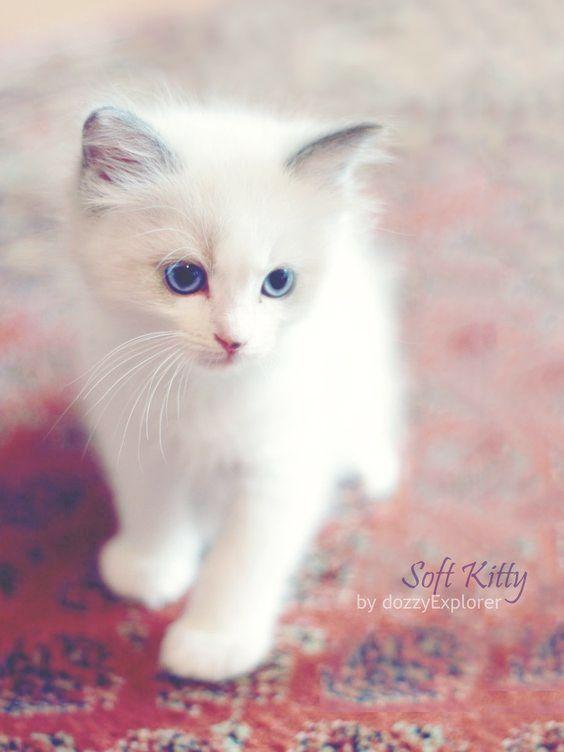 chaton blanc.jpg