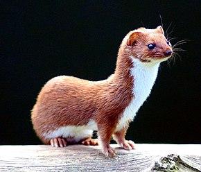 290px-Mustela_nivalis_-British_Wildlife_Centre-4.jpg