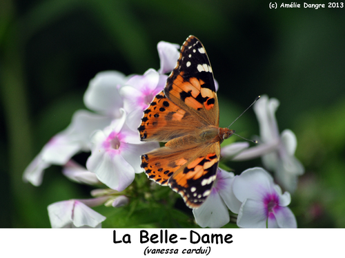 Belle-dame.png