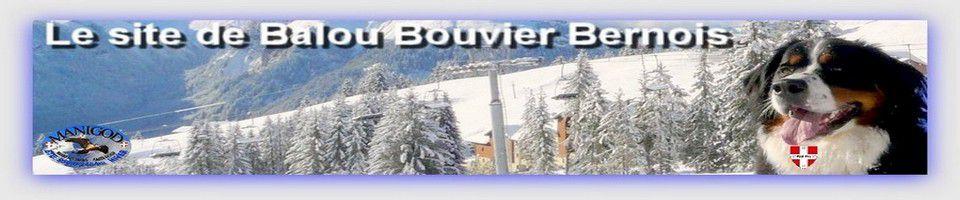 Balou Bouvier Bernois        Haute Savoie