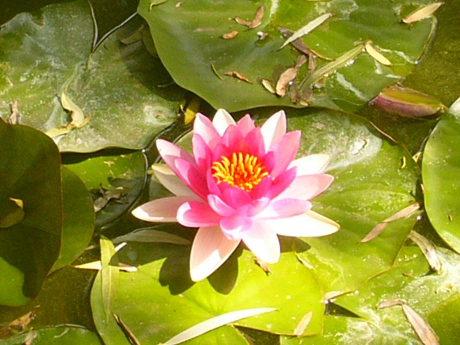 to lotus.JPG