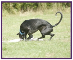Greyhound1.jpg