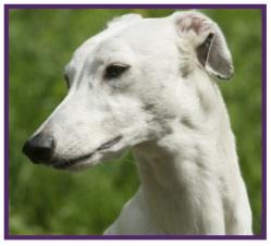 Greyhound4.jpg