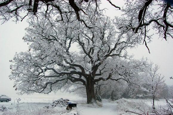 chene_neige.jpg