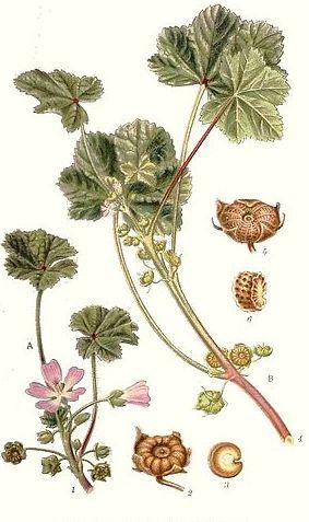 Malva rotundifolia 3.JPG