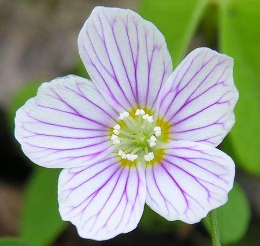 oseille fleur d'oxalis.JPG
