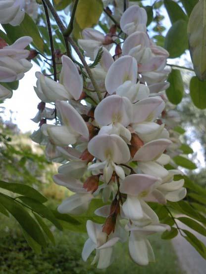 Fleur d'acacia.jpg