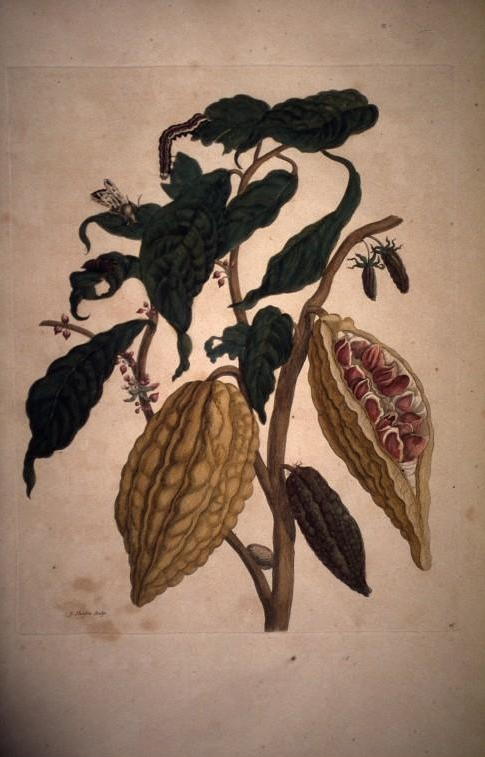 Cacaoyer 1719.jpg