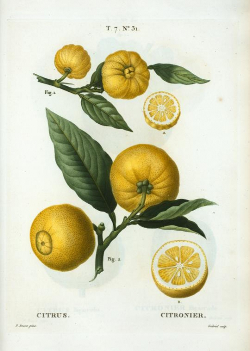 citrus_(citronier) (1).jpg