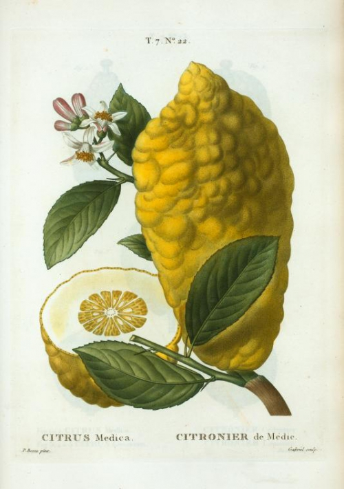 citrus_medica.jpg