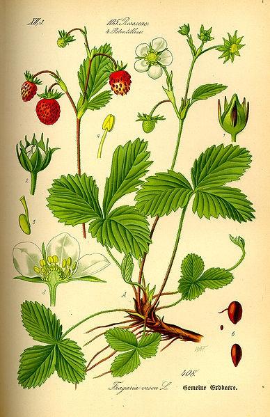 fraise des bois2.jpg