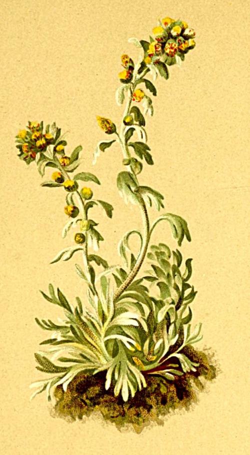 Génépi_Artemisia_spicata_Atlas_Alpenflora.jpg
