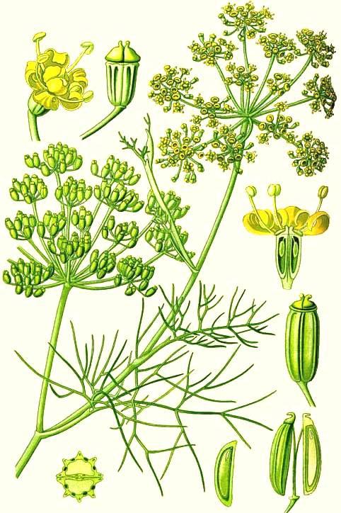 fenouil-planche-botanique.jpg