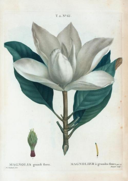 magnolia_grandi_flora.jpg