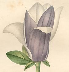 Magnolia Pourpre.jpg