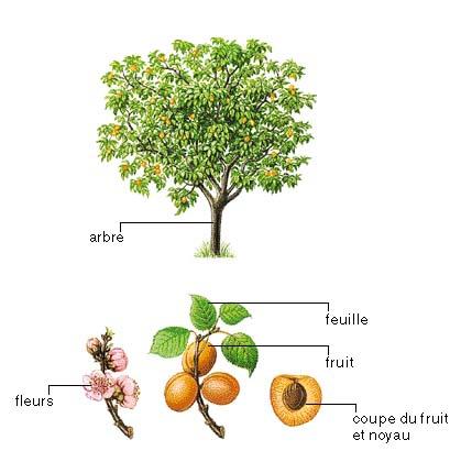 abricotier commun2.jpg