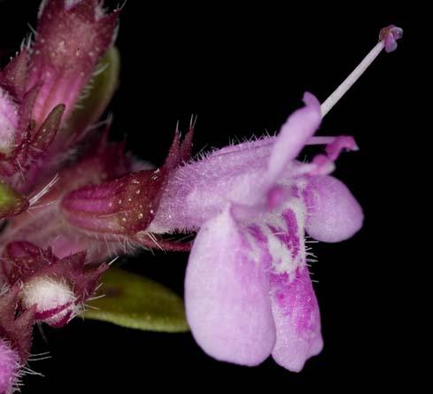 fleur de thym.jpg