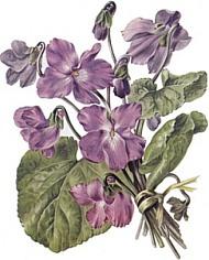 Violette5.jpg