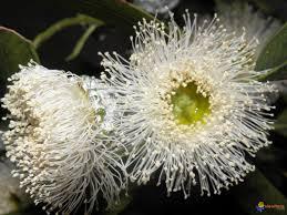 fleur d'eucalyptus.jpg