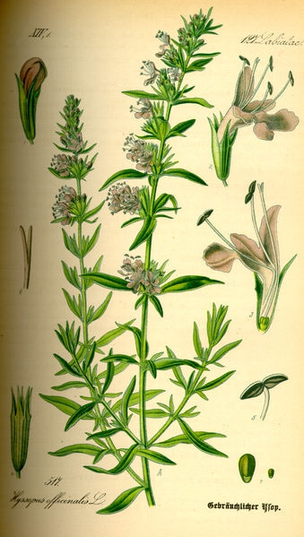 Hyssopus_officinalis.jpg