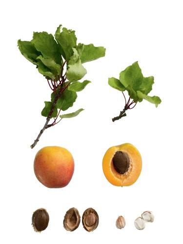 Abricot3.jpg