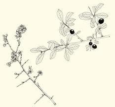 prunellier.jpg