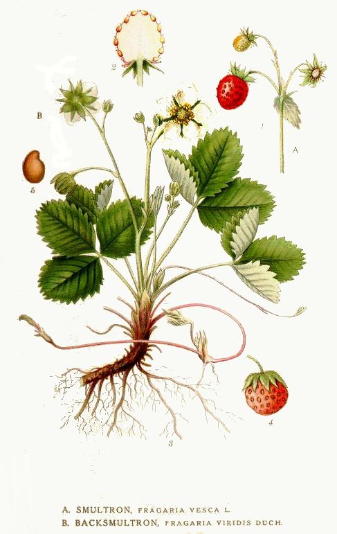 fraisier_des_bois.jpg