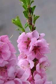 fleur de prunus persica peche.jpg