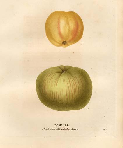 Pomme (Malus Sylvestris).jpg