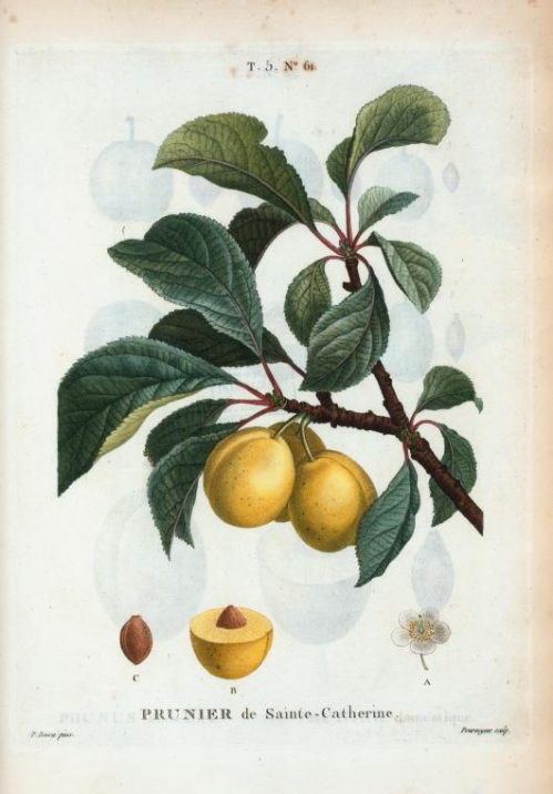 prunus_cerea_(prunier_de_sainte-catherine).jpg