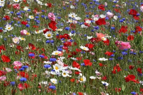 jachere fleurie.jpg