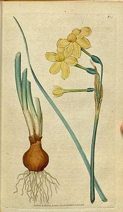 Jonquille Narcissus_jonquilla.jpg