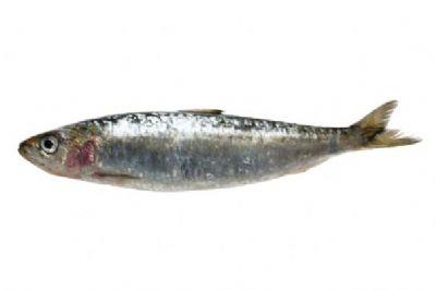 sardine1.jpg