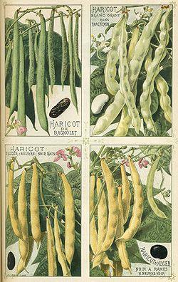 Haricots_-_Plantes_potagères_Vilmorin-Andrieux_et_Cie.jpg