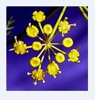 aneth fleur.JPG
