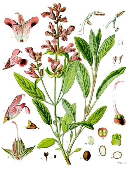 sauge Salvia_officinalis_-_Köhler–s_Medizinal-Pflanzen-126.jpg