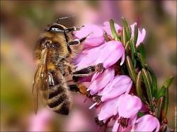abeille-abeille-sur-fleur-de-bruyere-rose.jpg