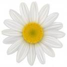 fleur de camomille1.jpg