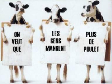 vaches drôles.jpg