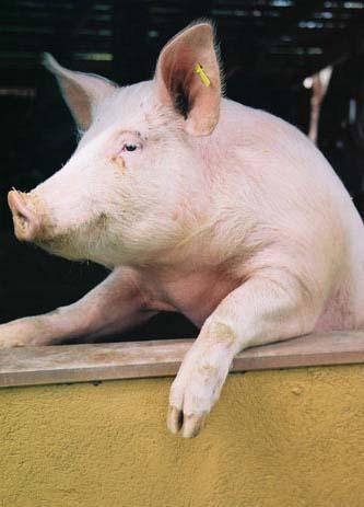 porc3.jpg