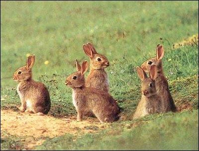 Groupe de lapins.jpg