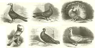 dessin pigeon.jpg