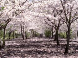 Champ de cerisiers.png