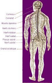 système nerveaux.jpg