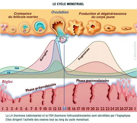 cycle-progesterone-oestrogene.jpg