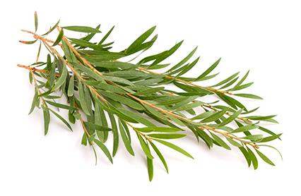 tea tree.jpg
