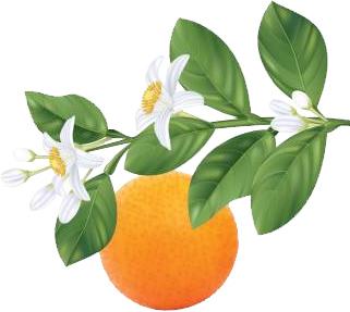 fleur d'oranger.jpg