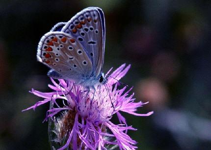 argus-bleu-sylviane-natoli.jpg