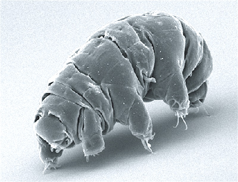 Milnesium_tardigradum.jpg