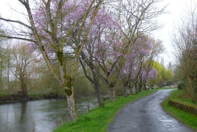 UTL grande marche Porte de Tonnay Boutonne alignement arbre en fleurs 6 03 2019.jpg